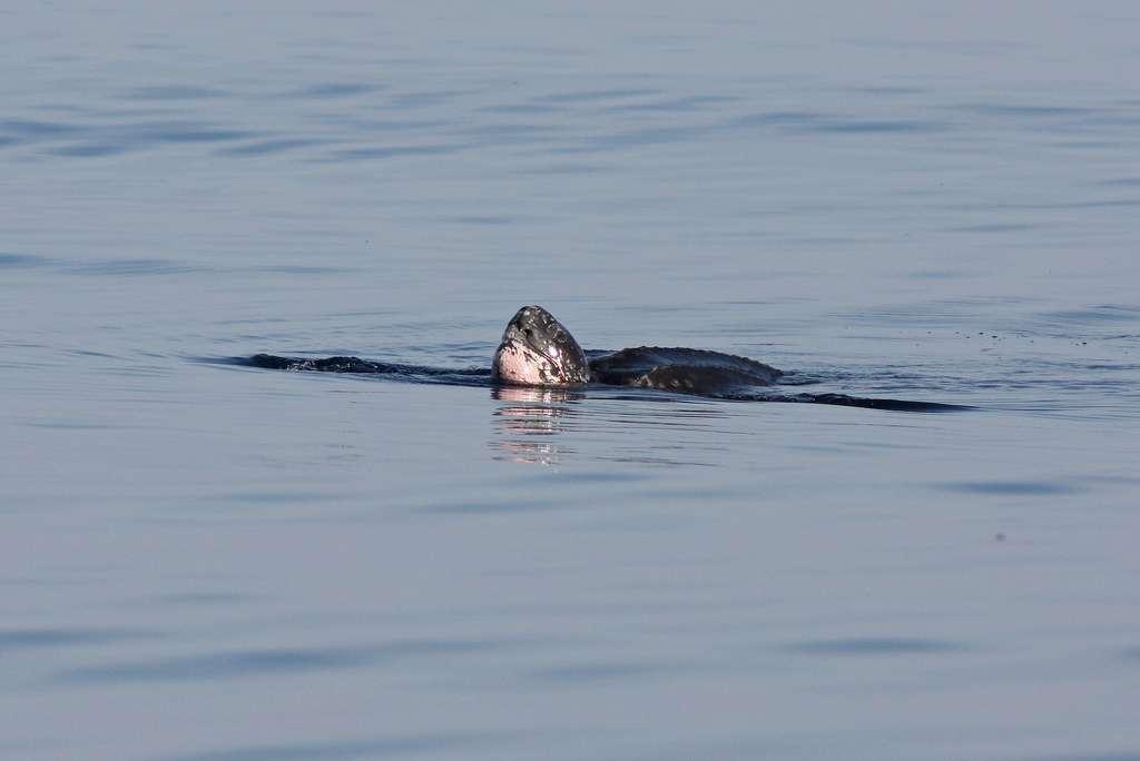 Tortue luth au large de la Caroline du Nord. © Flickr, Dan Irizarry, cc by nc sa 2.0