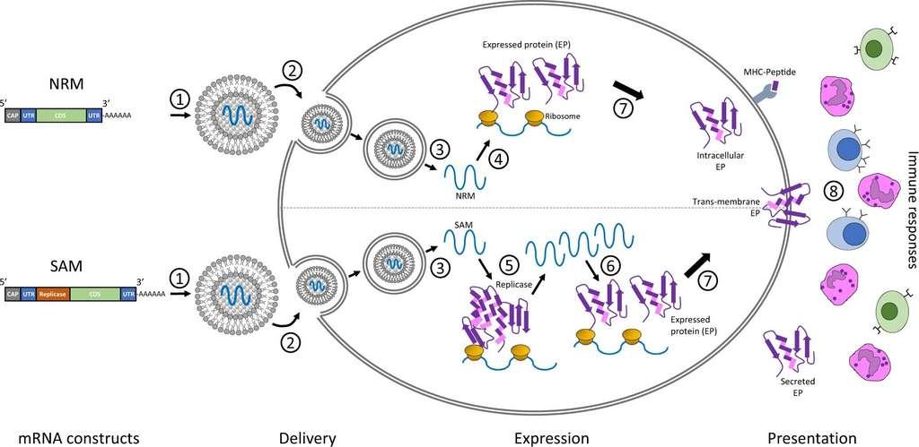 Le devenir des deux types de construction possibles dans un vaccin ARN. NRM (non-replicating messenger) et SAM (self-amplifying messenger), ils sont tous les deux traduits dans le cytoplasme cellulaire. Les antigènes ainsi produits sont présentés aux cellules du système immunitaire via le CMH. Les antigènes sont aussi sécrétés par les cellules et sont transportés par la circulation sanguine. © Nicholas A. C. Jackson et al. NPJ Vaccine