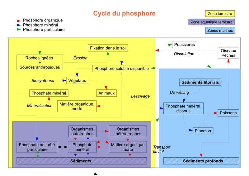 Cycle du phosphore. © UPVD-BioEcoL3-2009, Wikipédia, cc by sa 3.0