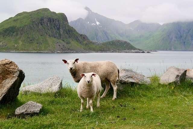 Les moutons de Nouvelle-Zélande moins producteurs de gaz à effet de serre ? © Majaranda, Pixabay, DP