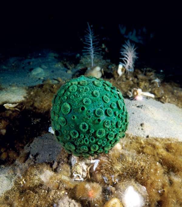 L'éponge globe verdâtre (Latrunculia apicalis)