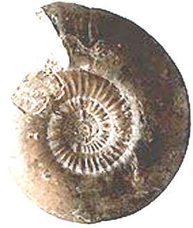 Ammonite Pictonia baylei