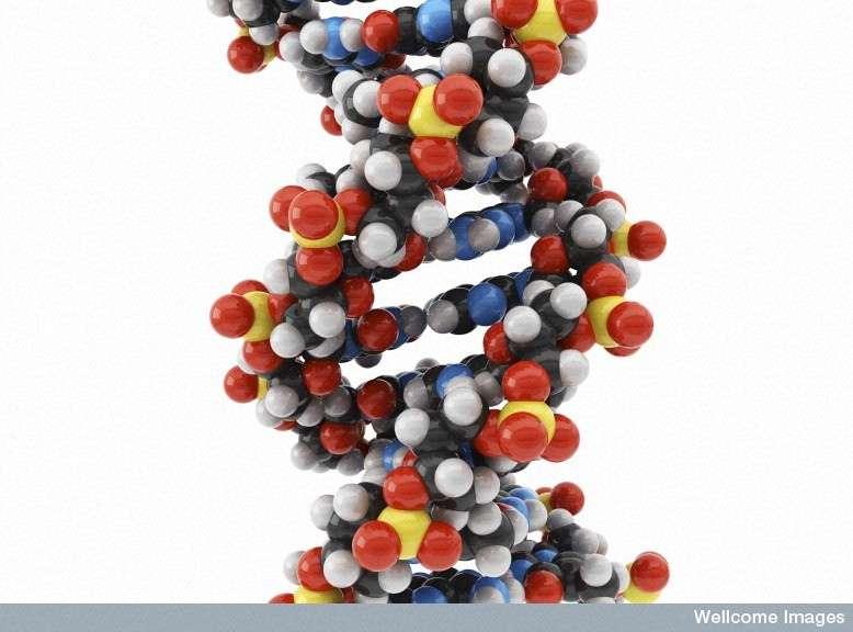 Cette image de la structure tridimensionnelle de l'ADN, en forme de double hélice, est devenue un classique pour tous les biologistes. Pourtant, elle n'était pas connue avant le 25 avril 1953, et la découverte de Watson et Crick. © Maurizio de Angelis, Wellcome Images, Flickr, cc by nc nd 2.0