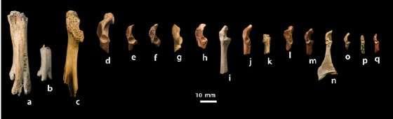 Les auteurs ont comparé les fragments de fossiles provenant de différents oiseaux du Crétacé. a et b : Hesperornithiformes ; c : Avisaurus archibaldi ; d et e : deux Ornithurine différents ; f : Cimolopteryx maxima ; g : Enantiornithine ; h : Ceramornis major ; i et j : deux Ornithurine différents; k : Enantiornithine ; l : Palintropus retusus ; m : Ornithurine ; n : Cimolopteryx rara; o : Cimolopteryx petra ; p : Ornithurine ; q : Cimolopteryx minima. © Longrich et al. 2011, Pnas
