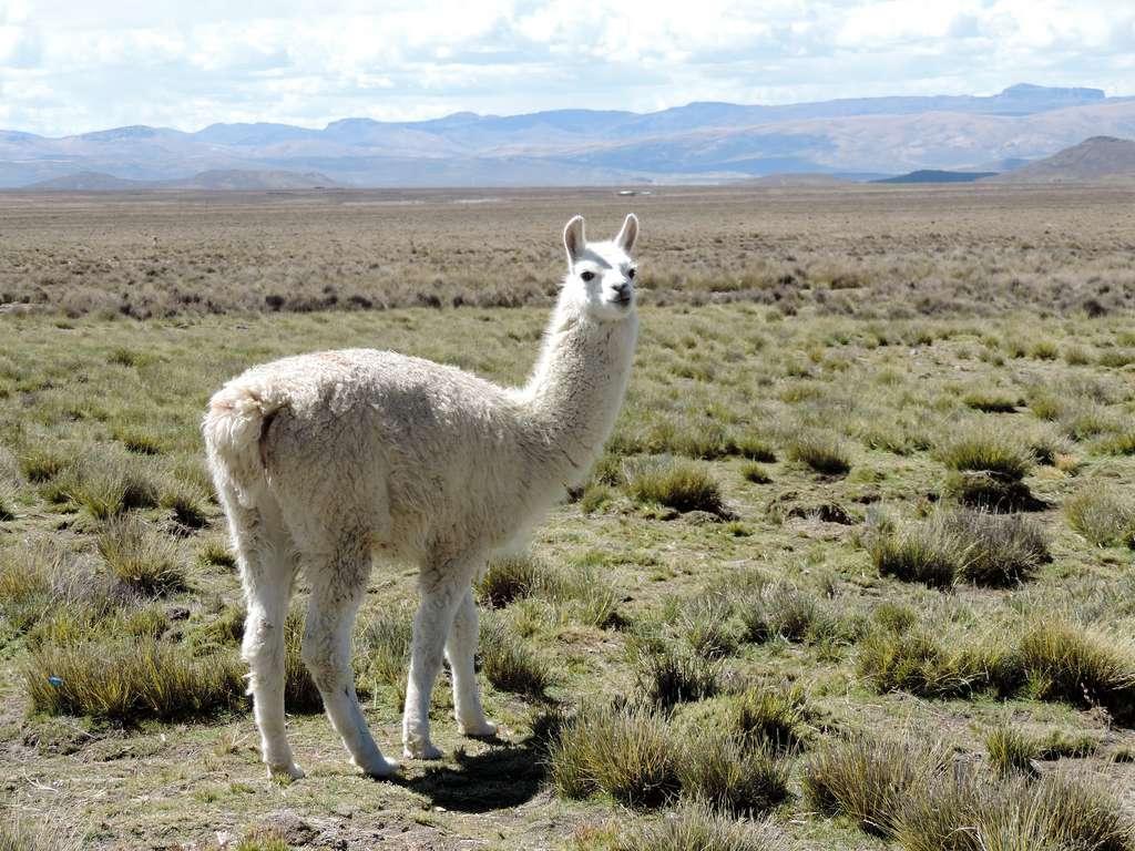 L'alpaga est un camélidé vivant dans la cordillère des Andes qui donne une laine très douce. © Christine Chauvin, Flickr