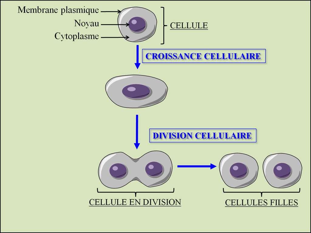 Figure 2. La multiplication cellulaire. Pour se multiplier, une cellule augmente sa taille au cours de la croissance cellulaire puis elle se divise en deux cellules filles. © Grégory Ségala