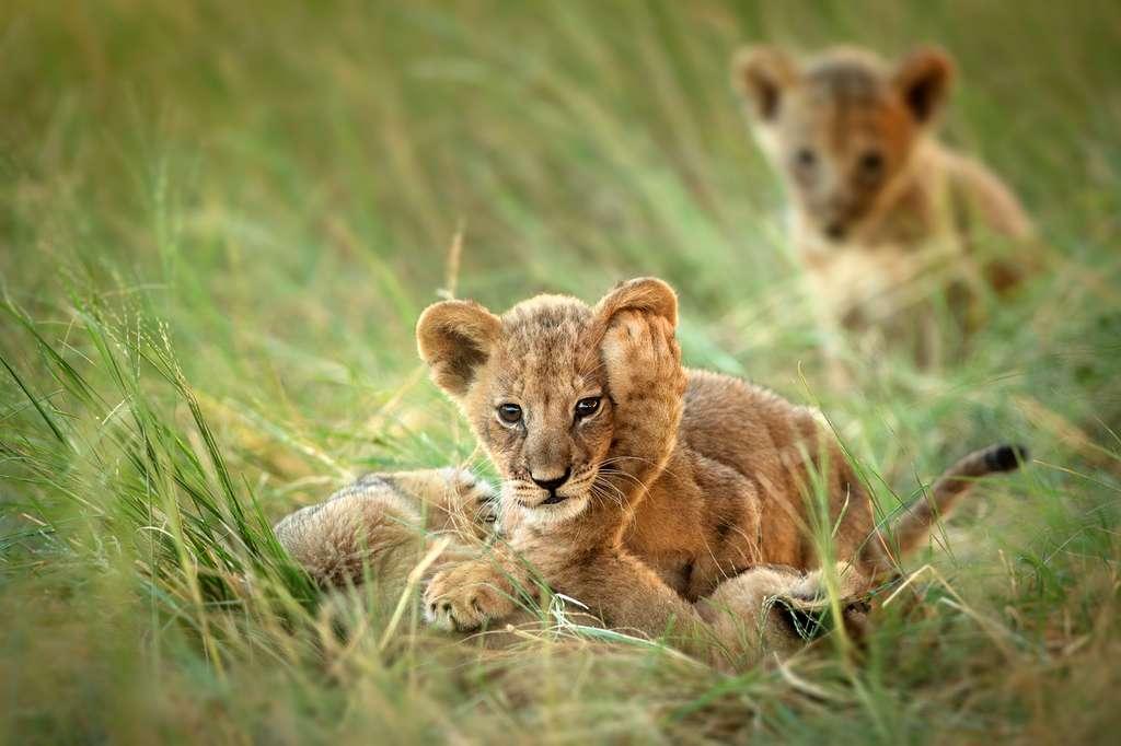 """Il ne reste aujourd'hui plus que 20.000 lions en Afrique. C'est 80 à 90 % de moins que par le passé. « Ils sont le symbole de ce que """"sauvage"""" veut dire. Nous ne pouvons pas les laisser mourir », commente Shivani Bhalla, fondateur de Ewaso Lions. © Carole Deschuymere, New Big Five 5"""