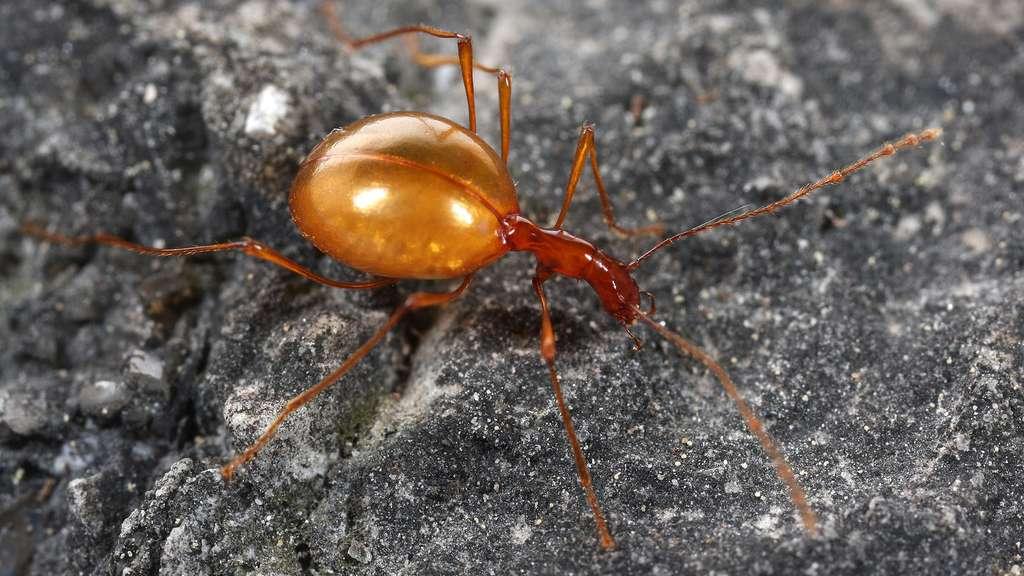 Le coléoptère Leptodirus, un animal cavernicole