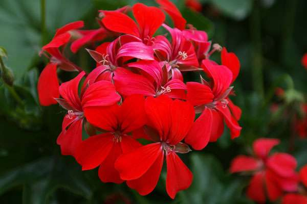 Effet décoratif garanti, en terrasse ou au jardin : ici, un géranium lierre rouge. © Hans, Pixabay, DP