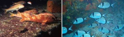 Les rougets et les sars, des clients très attendus sur les récifs. © E. Charbonnel - Tous droits réservés