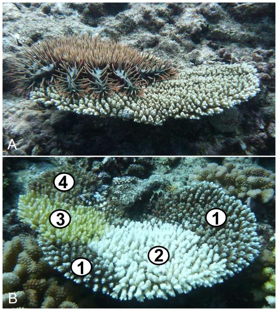 Sur l'image du haut (A), une Acanthaster planci sur un corail tabulaire Acropora. Sur l'image du bas (B) un corail est partiellement détruit par l'Acanthaster planci. Les zones (1) montrent les parties encore en vie du corail. En (2), le corail fraîchement tué par l'étoile de mer (mois d'un jour après l'invasion). En (3), une zone récemment tuée, avec un début de colonisation d'algues et de cyanobactéries (environ 10 jours après l'invasion). En (4) la partie morte est couverte d'algues (plus de trois semaines après l'invasion). © Mohsen Kayal, Plos One