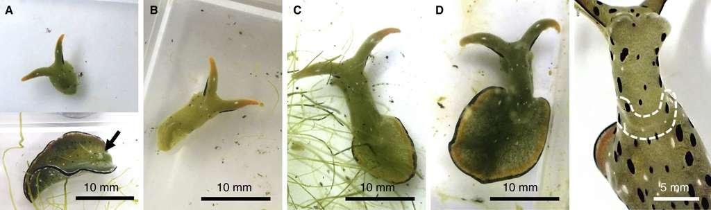 La tête et le corps de la limace demeurent mobiles mais, seule, la tête va pouvoir faire repousser les autres organes. En trois semaines, le corps de la limace de mer Elysia marginata s'est entièrement régénéré. © Sayaka Mitoh