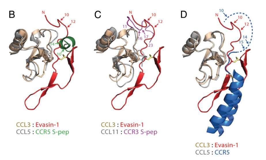 Les évasines sont des protéines fabriquées par la tique pour inhiber la réponse inflammatoire afin qu'elle soit indétectable pendant qu'elle se nourrit de sang. L'évasine-1 est ici liée à un groupe sulfate (en jaune) afin d'améliorer son affinité avec les chimiokines. © Charlotte Franck et al, PNAS, 2020