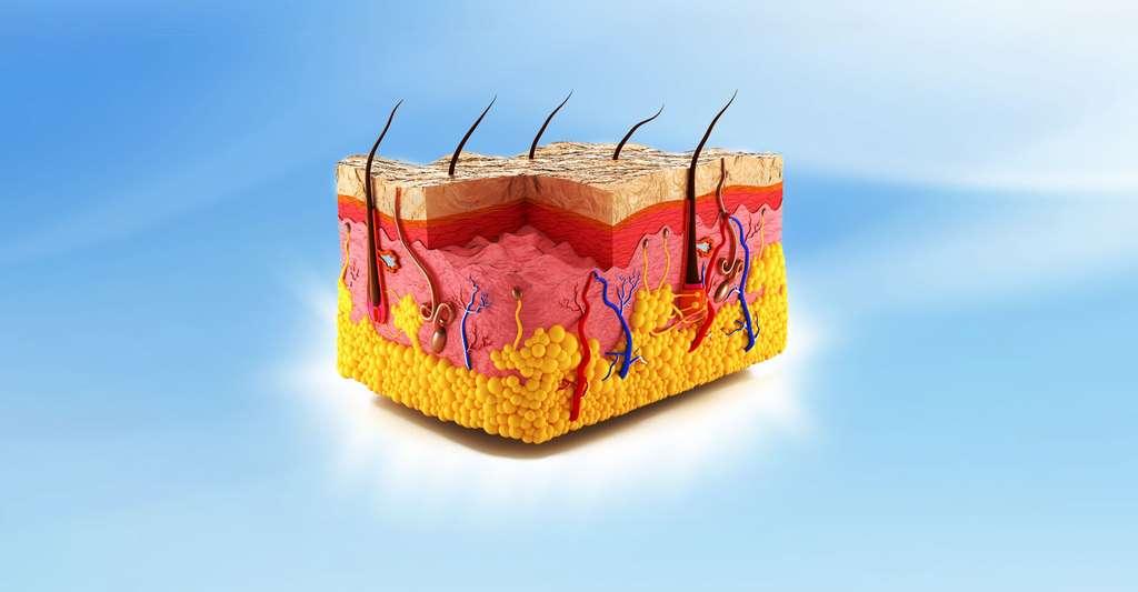 Quel est le rôle de la barrière cutanéomuqueuse ? Sur ce schéma, on peut voir la structure de la peau. © Anton Nalivayko, Shutterstock