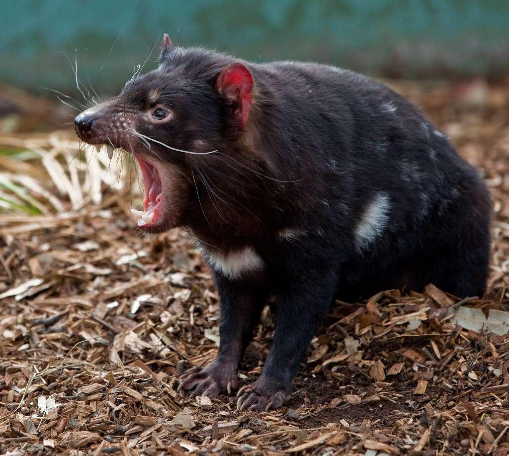 Le diable de Tasmanie et son cri strident
