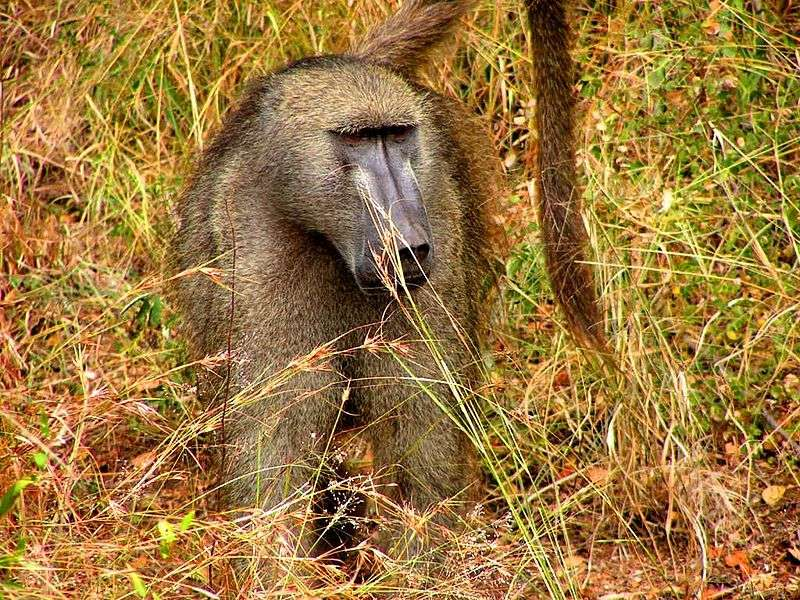 Babouin chacma mâle. © D. Gordon E. Robertson, CC by-SA 3.0