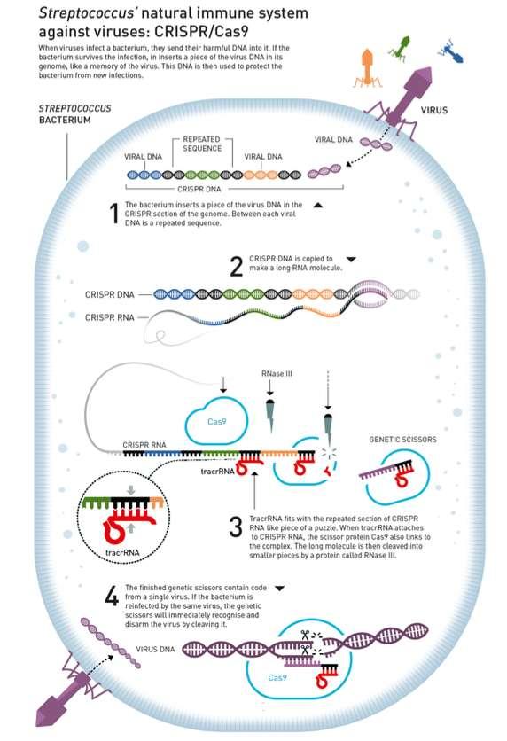 Lorsqu'un virus infecte une bactérie, des morceaux de son ADN sont ajoutés à l'ADN CRISPR de la bactérie. Entre chaque ADN de virus se trouve une séquence répétée. C'est à cette séquence que la molécule baptisée tracrARN va se fixer. La protéine Cas9 arrive ensuite en renfort et la protéine RNase III découpe finalement la molécule. © Johan Jarnestad, Royal Swedish Academy of Sciences