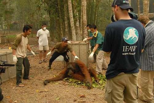 Sauvetage d'orangs-outans en Indonésie dans le cadre des incendies 2006 © IFAW/ M. Booth