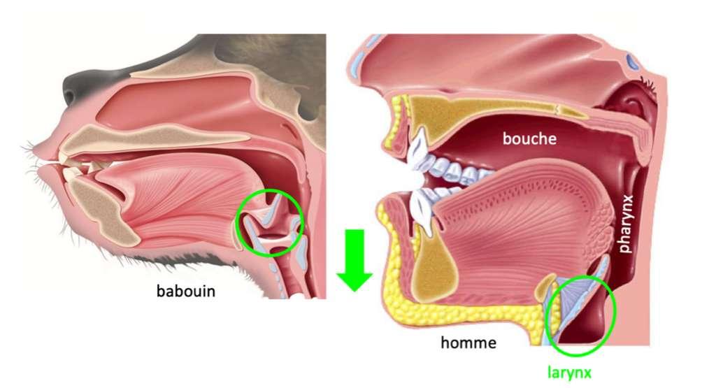 Position comparée du larynx chez le singe et chez l'humain. © Droits réservés