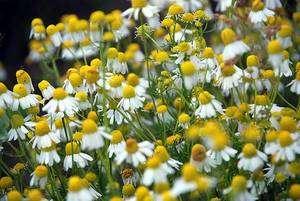 Cliquer pour agrandir. Des fleurs de camomille sauvage (Matricaria recutita), l'une des 17 plantes (50% de fleurs, 50% de graminées) qui font partie des sachets de graines. © bpmm CC by-nc-nd 2.0