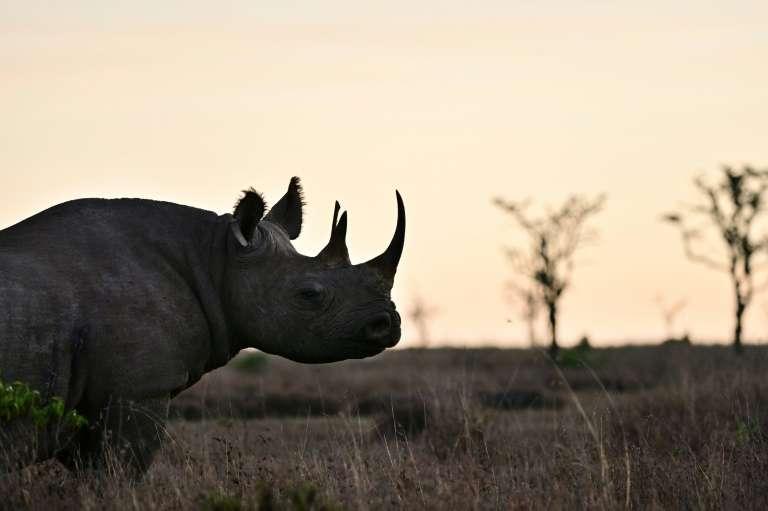 Un rhinocéros noir à ol-Pejeta, sur le plateau de Laikipia, au Kenya, le 28 mai 2019. © Tony Karumba AFP, Archives