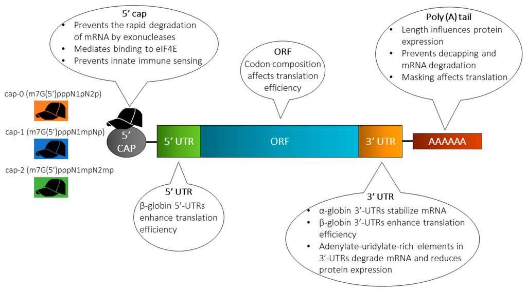 Structure classique des ARNm utilisés dans les préparations vaccinales. L'extrémité 5' est protégée par une coiffe qui prévient la dégradation par les exonucléases. Cette coiffe peut être de différentes natures. Viennent ensuite des protéines non-structurales qui favorisent la traduction (5' UTR). L'ORF contient la séquence de l'antigène protéique désiré. L'extrémité 3'UTR code aussi pour des protéines non-structurales qui protègent et stabilisent l'ARNm. Enfin, l'ARNm se termine par une queue poly-A qui limite la dégradation et permet le recrutement du ribosome, l'effecteur de la traduction. © Abishek Wadhwa et al. Pharmaceutics 2020