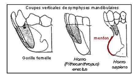 Symphyses mandibulaires. © DR
