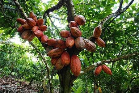 Du cacao au chocolat. © S. Bonnat