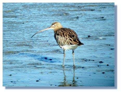 Le Courlis cendré (Numenius arquata) est un migrateur régulier dans la baie de Saint-Brieuc. Photo : Yannick Cherel.