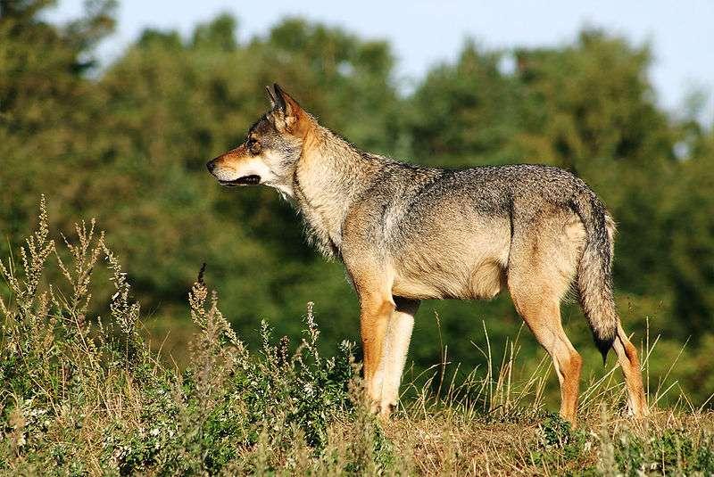 Loup gris scandinave. © Malene Thyssen, GNU FDL Version 1.2