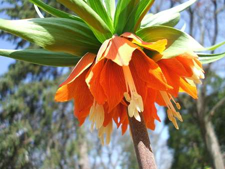 Fritillaria imperialis 'Rubra Maxima'. © Henry Heatly, Licence Creative Commons Paternité – Partage des conditions initiales à l'identique 2.0 générique