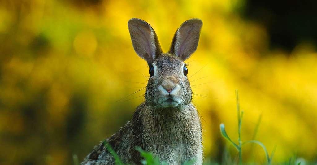 Oryctolagus cuniculus, le lapin de garenne, a causé des dégâts en Australie. © Tpsdave,DP
