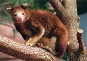 Kangourou arboricole Crédits : CI, Bruce Beehler