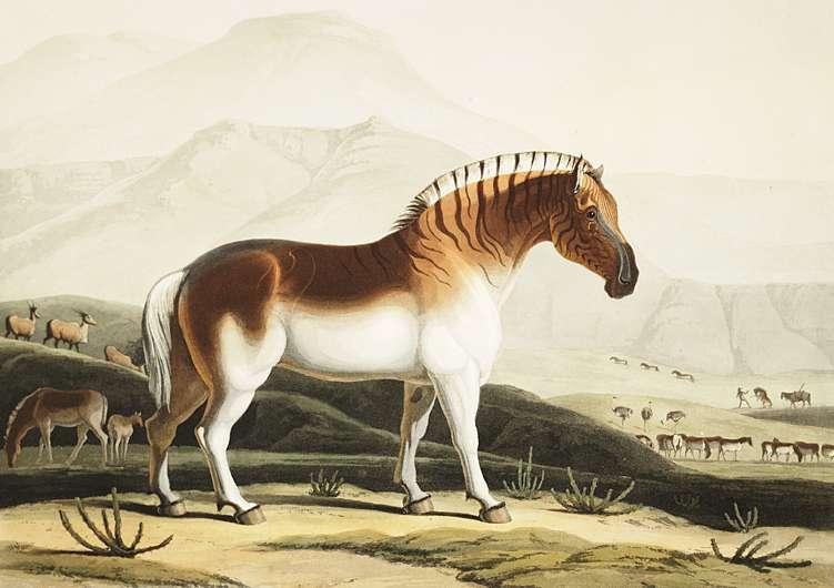 Le dernier spécimen de quagga (couagga) est mort dans un zoo à Amsterdam en 1883. © Samuel Daniell, Wikipédia