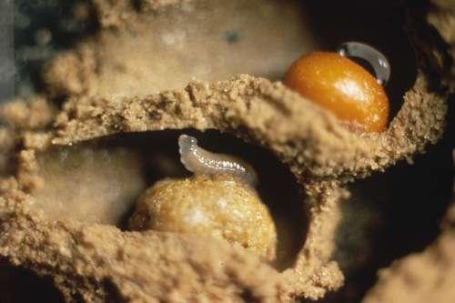 Expériences d'addition de pollen dans des cellules d'abeilles Evylaeus calceatus. Les deux cellules ont reçu du pollen additionnel. Le pain d'abeille supérieur pèse 53,1 milligrammes ; le pain d'abeille inférieur pèse 72,6 milligrammes. Le poids moyen d'un pain d'abeille de première couvée est d'environ 44 milligrammes. © Plateaux Luc, CNRS laboratoire : URA1293 ; CNRS photothèque, reproduction et utilisation interdites
