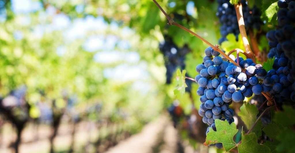 En 1893, le mildiou a causé la perte de la moitié de la récolte du vignoble français. © jill111, Pixabay, CC0 Creative Commons