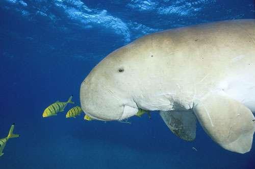 Le dugong est un mammifère marin, appartenant à l'ordre des siréniens. © Photo Alexis Rosenfeld, Toute reproduction et utilisation interdites