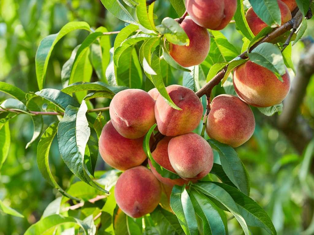 Pêche, brugnon et nectarine sont issus du même arbre, Prunus persica. © Dionisvera, Fotolia