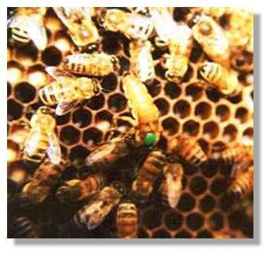 Abeille en ruche