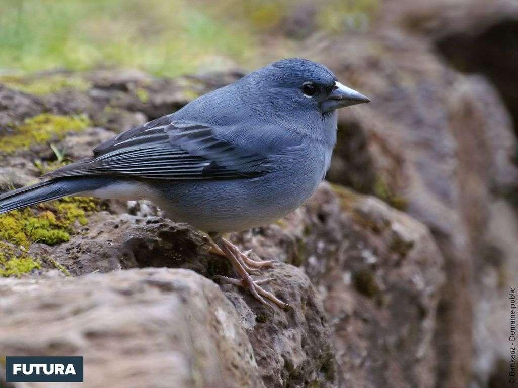 Pinson bleu - Fringilla teydea