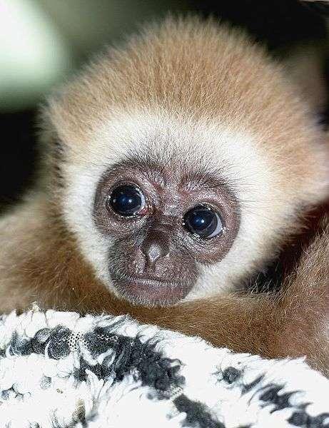Gibbon juvénile à mains blanches (Hylobates lar). © Choupigloupi, CC by 2.0