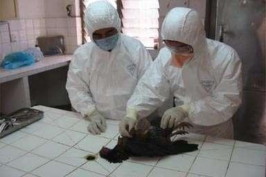 Le virus H5N1 a-t-il une capacité à muter plus importante que prévue ? (Crédits : FAO)