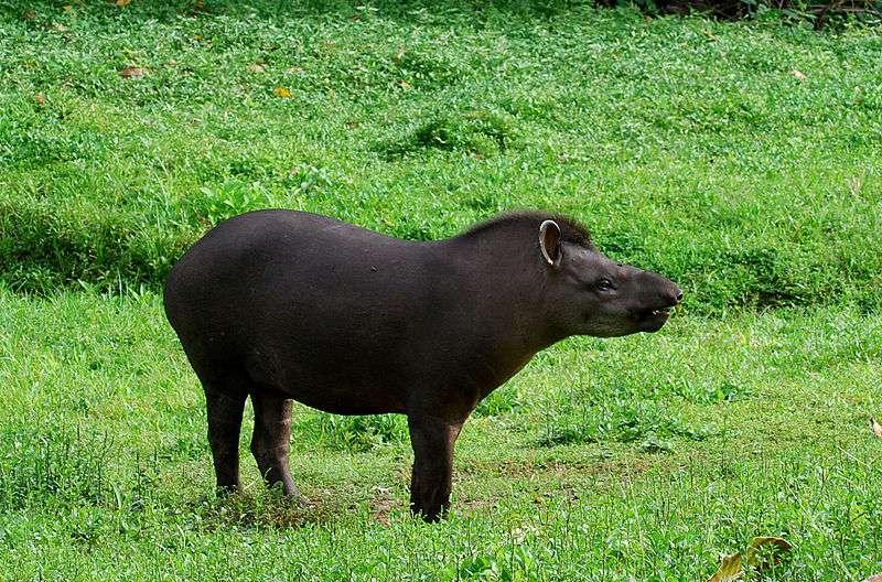 Tapir terrestre en Équateur. © Geoff Gallice, Wikipédia, cc by 2.0