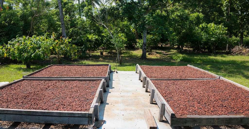 Fèves de chocolat séchées au soleil. © NoBorders, Brayden Howie, Shutterstock