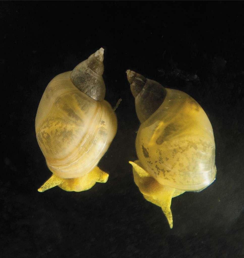 Les escargots dont le gène Lsdia1 a été désactivé ont une coquille qui tourne dans le sens inverse des aiguilles d'une montre. © Hiromi Takahashi, Kuroda Laboratory