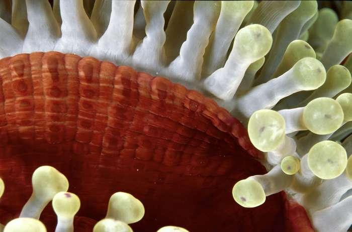 L'anémone Heteractis magnifica