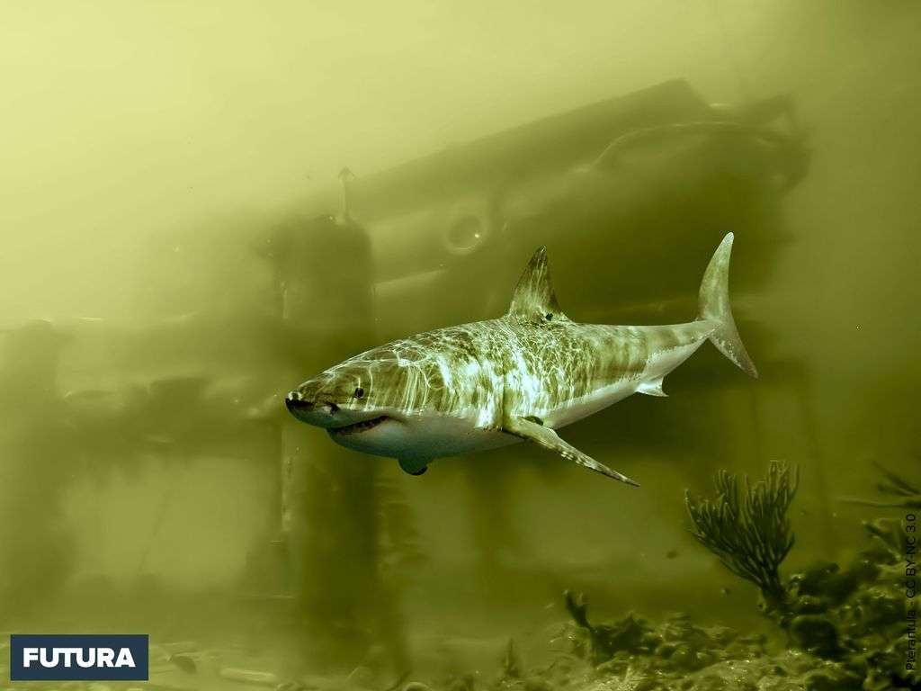 Grand requin blanc - Carcharodon carcharias