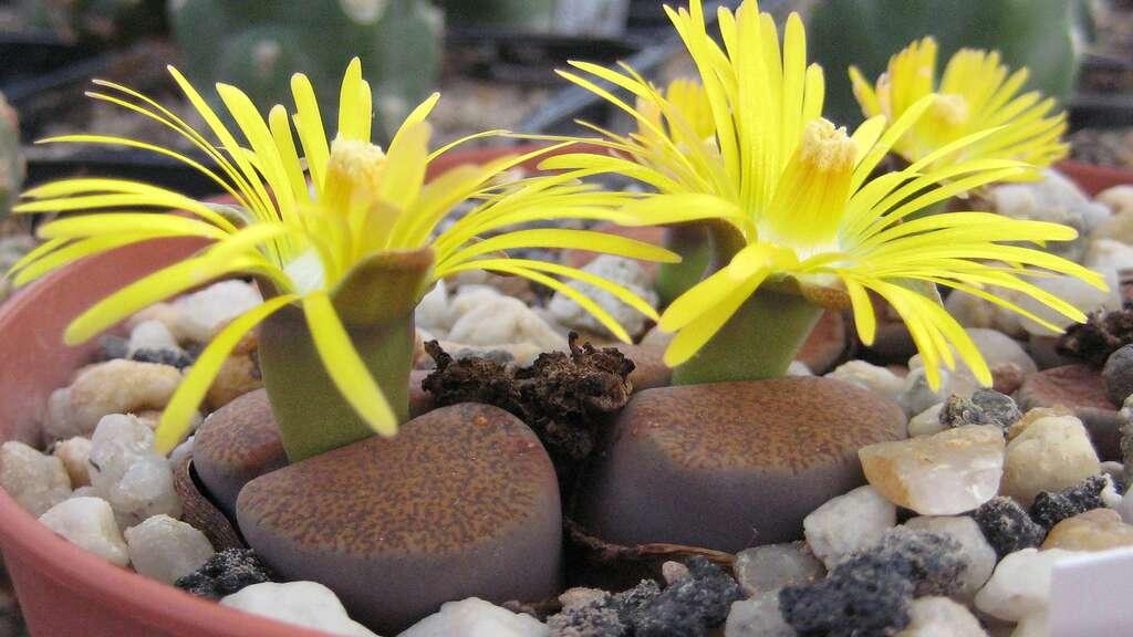 Lithops lesliei ssp.