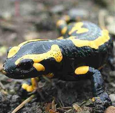 La salamandre est symbole d'immortalité car son corps peut s'autorégénérer. Saurons-nous un jour percer son secret ? © DR