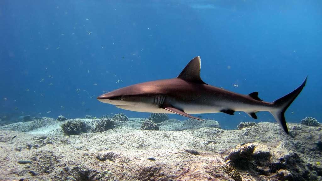Le requin gris de récif : la terreur des récifs